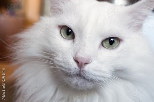 Photo portrait of a young white cat Angora breed