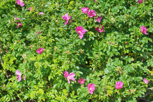 Wild Rose, Ramanas Rose (Rosa ...