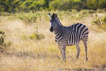 Amazing Zebra In Savanna