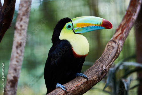 Beautiful toucan sitting on tree