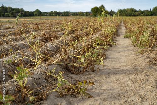 Fényképezés  Im heißen Sommer vernichtet die Trockenheit die angebauten Kartoffeln in Soest, Nord Rhein Westfalen, Deutschland