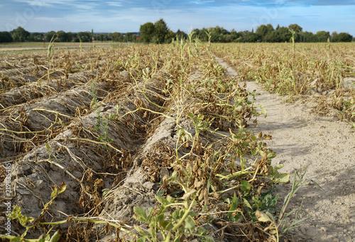 Fotografie, Obraz Im heißen Sommer vernichtet die Trockenheit die angebauten Kartoffeln in Soest, Nord Rhein Westfalen, Deutschland