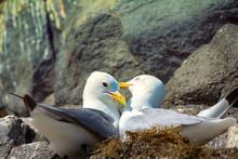 Couple Of Kittiwakes Gulls Settled In Nest