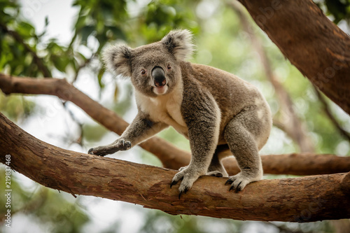 Spoed Fotobehang Koala Koala on a Eucalyptus tree in Queensland, Australia