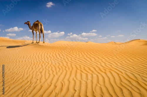 Keuken foto achterwand Kameel Camel on sand dune outside Dubai, UAE