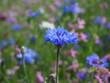 Niebieski kwiatek na sielskiej łące