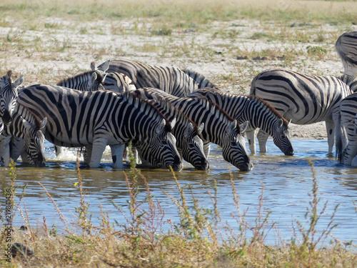 Zdjęcie XXL stado zebr - Namibia