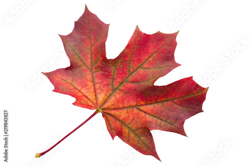 Foto op Canvas Canada Colorful autumn maple leaf isolated on white background close up