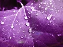Purple Leaf With Raindrop On It