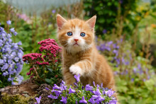 Baby Kitten With Wonderful Blue Eyes Playing With Flowers