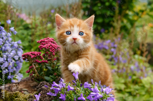 Fotografía Baby kitten with wonderful blue eyes playing with flowers