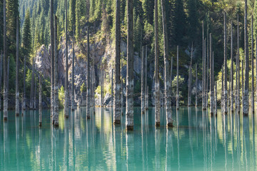 Fototapeta Las The Sunken Forest Of Mountain Lake, a unique natural landscape