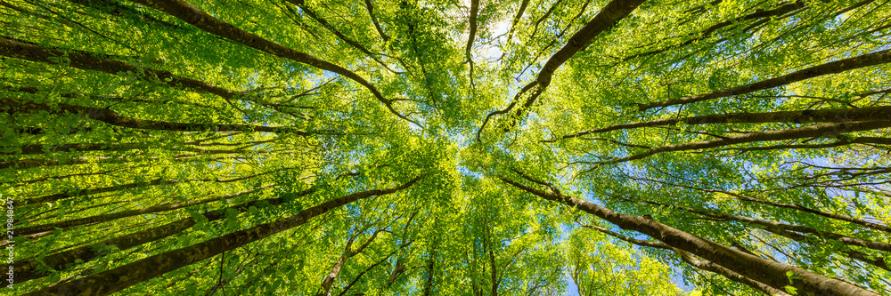 Fototapety, obrazy: Looking up at the green tops of trees. Italy