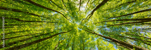 Spoed Foto op Canvas Bomen Looking up at the green tops of trees. Italy