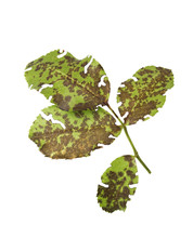 Diplocarpon Rosae -Black Spot Caused By Fungus On Rose Plant, Leaf Rose Isolated On White