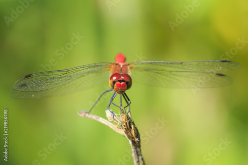 Fotografie, Obraz  Closeup of a male red colored Ruddy darter (Sympetrum sanguineum) resting in sun