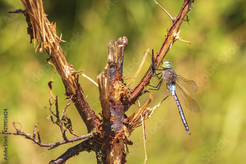 Fotografía  Closeup of a lesser emperor dragonfly Anax parthenope resting under leaves in a