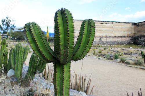 Fototapeta huge mexican green cactus growing next to piramid, mexican traditional big cactu
