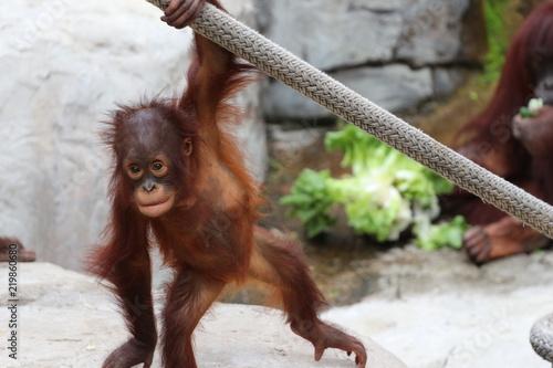 Young Baby Juvenile Orangutan Canvas Print