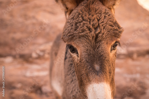 Donkey in town of Petra, Jordan