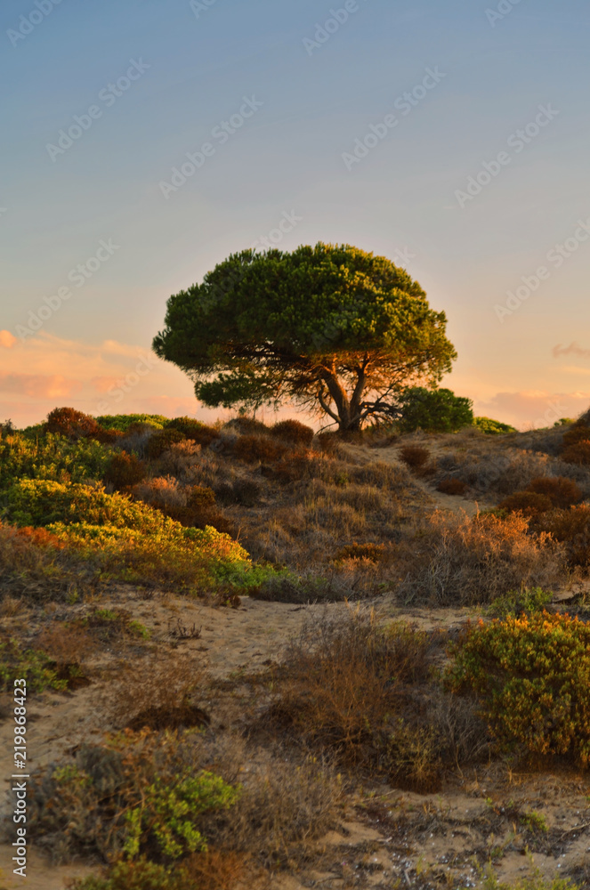Landscape with tree on the sand dune in sunset time.