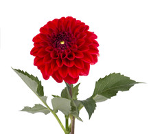 Burgundy Dahlia Flower With Le...