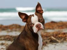 Boston Terrier Dog Outdoor Por...