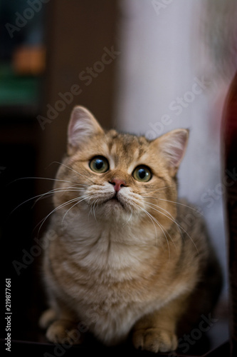 Fototapety, obrazy: kitten cat scottish straight, lop-eared fluffy, animal