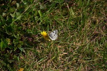 Checkered White Butterfly On A...