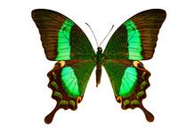 Papilio Palinurus On A White Background