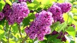 Blossoming lilac bush in the spring