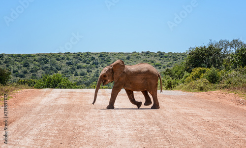 Foto op Aluminium Olifant Baby Elephant Crossing Road