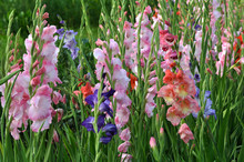 Blossom Of Colorful Gladioluses
