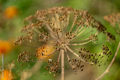 Blurred soft tone of an umbellated dill background Canvas-taulu