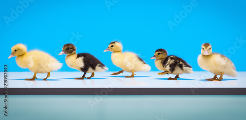 Fotografie, Obraz All My Ducks in a Row