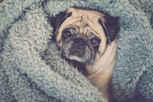 Clear Brown Pug With Intense Expression Looking A Tyou