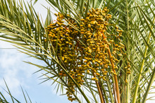 Cluster Of Date Fruits, Date P...