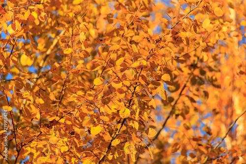 Spoed Fotobehang Berkbosje Leaves on a tree in autumn as a background