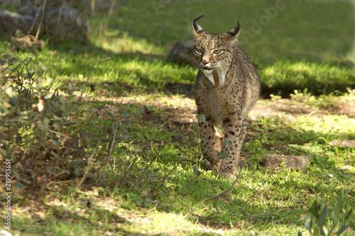 Spoed Foto op Canvas Lynx Iberian Lynx. Lynx pardinus