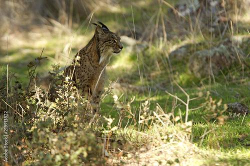 Fotografía Iberian Lynx. Lynx pardinus