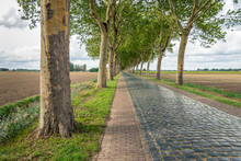 High Plane Trees Along A Road With Cobblestones