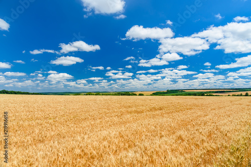 Field of the ripe yellow wheat under blue sky and clouds