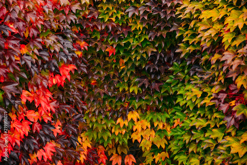 Fotografie, Obraz autumn is coming. wall in colored ivies leaves