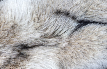 Close-up Detail of Wolf Fur as background or texture