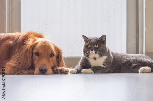 Poster Pierre, Sable Golden retriever and British short hair cat