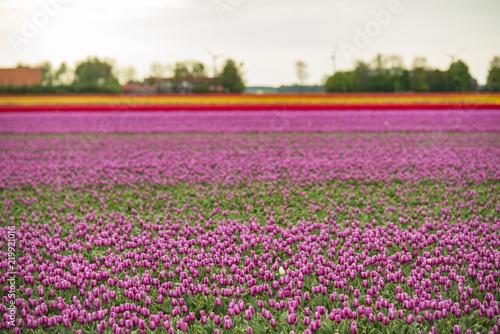 Spoed Fotobehang Roze Colorful Tulip field