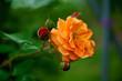 canvas print picture - Pflanzen, Friede, Garten , Frühling, Wandern, macro, Rose