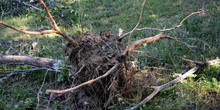 Baum Roden