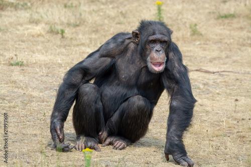 Photo  Black chimpanzees monkey leaving in safari park close up