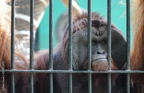 Canvas Print Orangutan in captivity